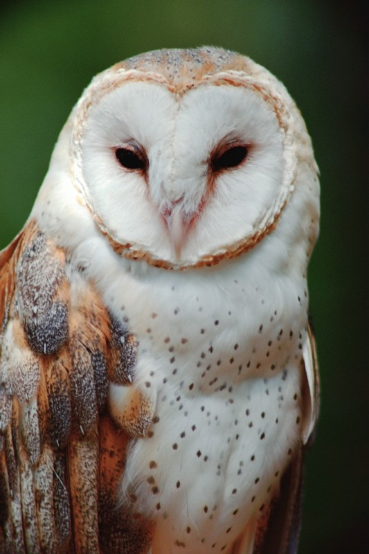 Barn Owls Of The Niagara Region